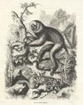 The Diadem Lemur