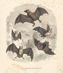 The Madagascar and Other Bats