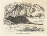 Front: Madagascar Shrew: Cassell's Popular...