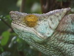 Freeze-Frame: The Chameleons of Madagascar