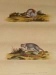 Lemur murinus, Tab XIII