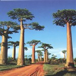 The Avenue of Baobabs (Adansonia grandidieri) near Morondava in East Madagascar