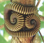 Giant millipedes curled together on the underside of a branch in Northwest Madagascar