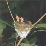 Paradise flycatcher clicks (Terpsiphone mutata), Nosy Mangabe, Madagascar