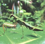 Praying mantis, Madagascar