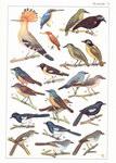 Plate 13: Faune de Madagascar: XXXV: Oiseaux:...