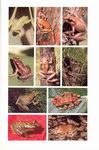 Plate 16: Faune de Madagascar: 75 (2): Amphib...