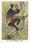 61. Indri of Babakoto / Indris