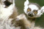 Freeze-Frame: Gangland Lemurs