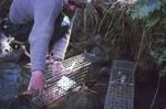Setting oxgord traps for aquatic tenrecs