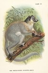 Plate IX: The White-Footed Sportive Lemur