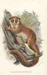 Plate V: The Black-Eared Mouse Lemur