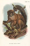 Plate VIII: The Grey Gentle-Lemur
