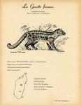 31. La Genette fossane / 32. Le Galidictis Stri�