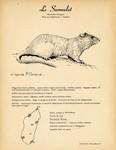 41. Le Surmulot / 42. Le Rat g�ant