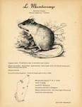 43. Le Macrotarsomys / 44. Le Brachytarsomys � Queue Blanche