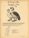 17. Le Canard � Bosse ou Sarcidiorne � Cr�te / 18. La Sarcelle Naine
