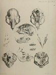 Plate 20: On the Aye-aye (Chiromys, Cuvier; C...