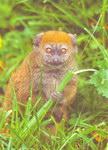 Front: Gentle Lemur