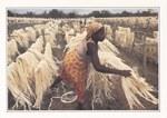 Trocknen von Sisalfasern / S?chage de fibres de sisal