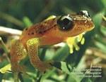 Treefrog Heterixalus punctatus