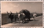 Front: Zebu pulling a cart in the highland...