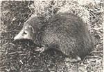 181. Tanrec de Madagascar (Centid?s)