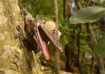 Grosser Plattschwanzgecko