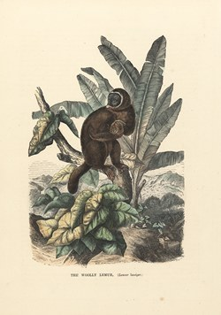 The Woolly Lemur (Lemur Laniger): Cassell's Popular Natural History: Mammalia, vol 1