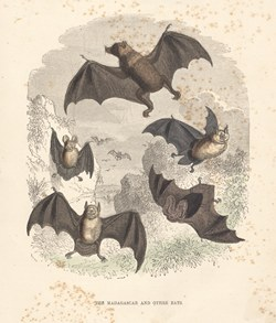 The Madagascar and Other Bats: Cassell's Popular Natural History: Mammalia, vol 1