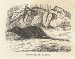 Madagascar Shrew: Cassell's Popular Natural History: Mammalia, vol 1