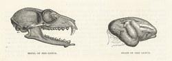 Skull of Red Lemur & Brain of Red Lemur: Cassell's Popular Natural History: Mammalia, vol 1