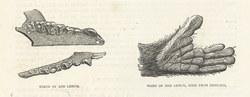 Teeth of Red Lemur & Hand of Red Lemur, Seen from Beneath: Cassell's Popular Natural History: Mammalia, vol 1
