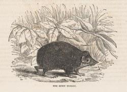 The Spiny Tenrec: Cassell's Popular Natural History: Mammalia, vol 1