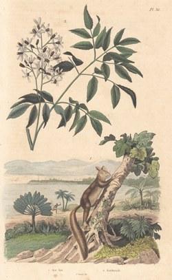 Aye-Aye: Dictionnaire pittoresque d'histoire naturelle et des phénomènes de la nature, vol. 1, 1838