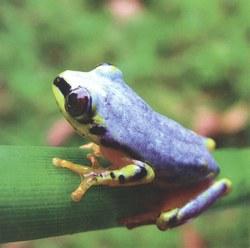 Reed frog (Hererixalus madagascariensis) from Madagascar's northeast coast
