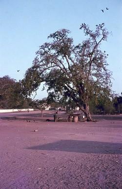 Tree with many pied crows: Ejeda
