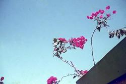 A giant Madagascar swallowtail visiting bourgainillea flowers: Tulear