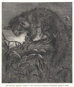The aye-aye, recently added to the Zoological Society's collection, Regent's Park: Illustrated London News, 6 September 1862