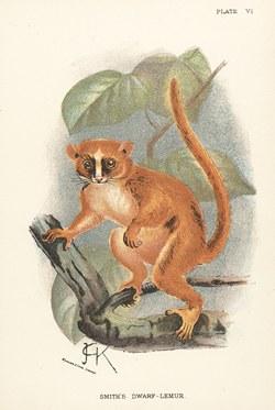 Plate VI: Smith's Dwarf Lemur: Lloyd's Natural History: A handbook to the primates, vol 1