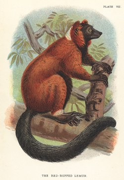 Plate VII: The Red-Ruffed Lemur: Lloyd's Natural History: A handbook to the primates, vol 1