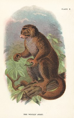 Plate X: The Woolly Avahi: Lloyd's Natural History: A handbook to the primates, vol 1