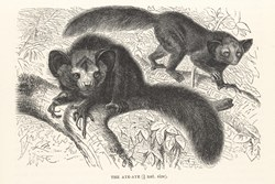 The aye-aye (1/9 nat. size): The Royal Natural History, 1893
