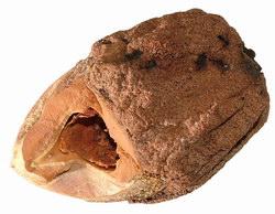 Nut Opened by an Aye Aye: from Nosy Mangabe
