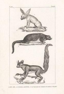 1. l'Aye-Aye, 2. l'Animal Anonyme, 3. Le Taguan ou Grand Ecureuil Volant: Oeuvres complétes de Buffon