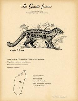 31. La Genette fossane / 32. Le Galidictis Strié