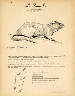 41. Le Surmulot / 42. Le Rat géant