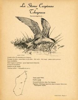 1. La Sterne Caspienne ou Tchegrava / 2. La Sterne Huppée ou Sterne de Berg