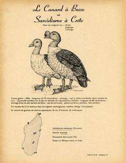 17. Le Canard à Bosse ou Sarcidiorne à Crête / 18. La Sarcelle Naine