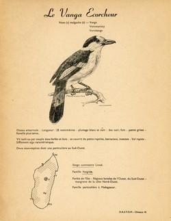 45. Le Vanga Ecorcheur / 46. L'Eurycère de Prévost